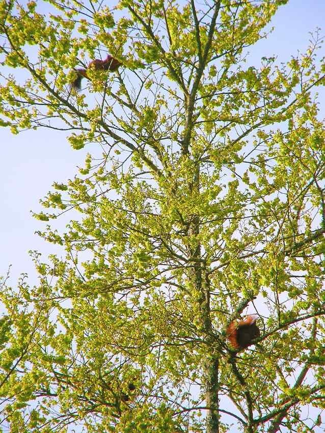 3 Ecureuils sur l'Ormeau