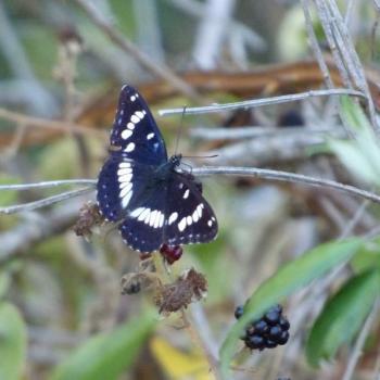 478 Papillon Sylvain azuré