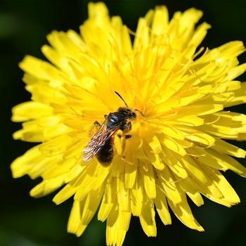 Abeille récoltant le pollen