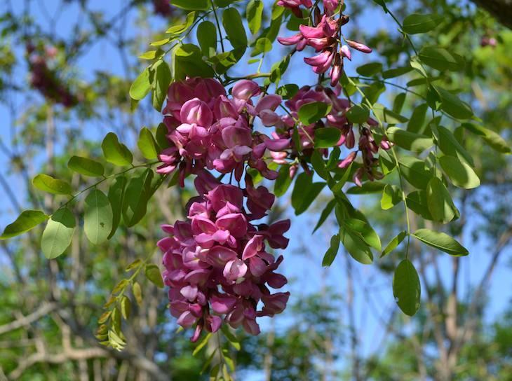 Acacia casque rouge - Fabaceae