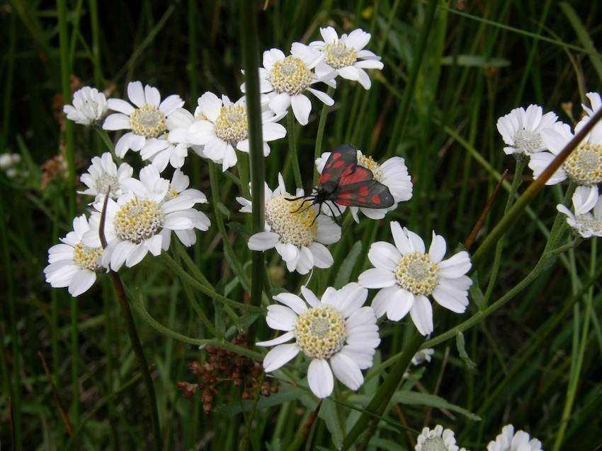 Achillée des Pyrénées - Achillea ptarmica subsp. pyrenaica
