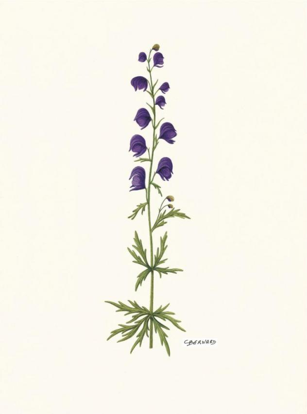 Aconit napel - Aconitum napellus