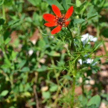 Adonis goutte de sang - Adonis flamea 2 - Renonculaceae