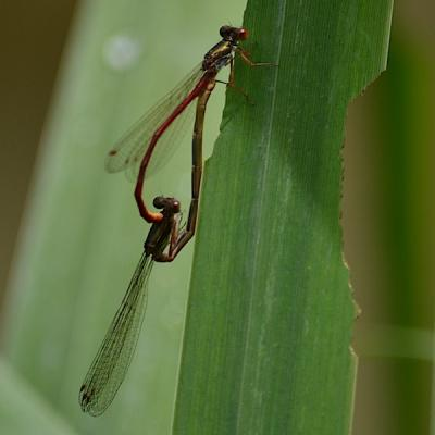 Agrion - accouplement