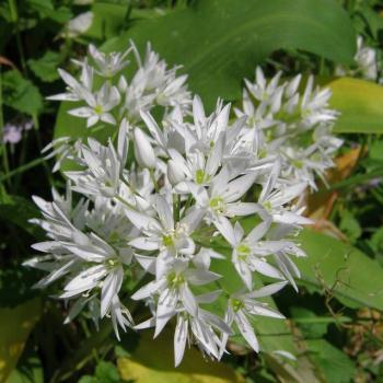 Ail des ours - Allium ursinum