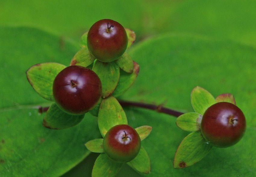 Androsème fruits