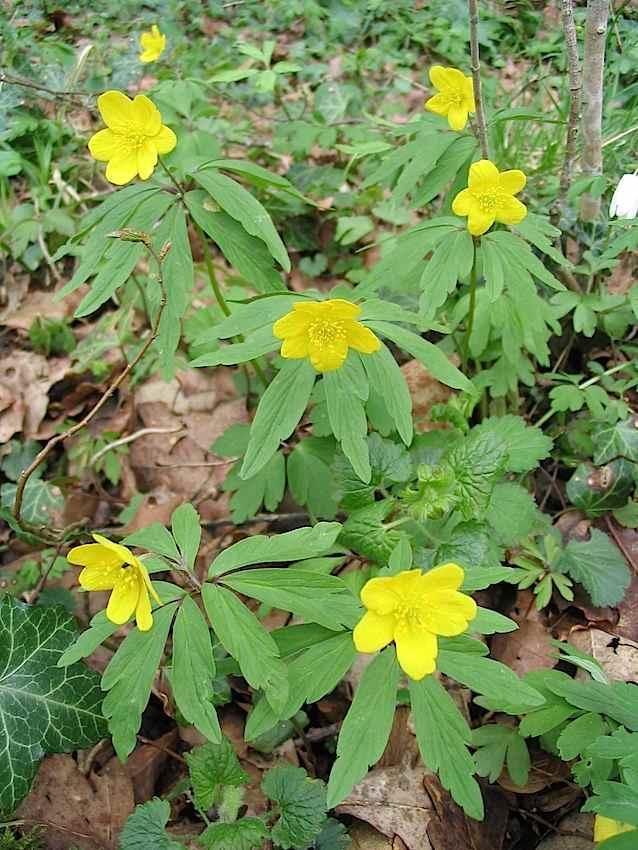 Anémone fausse renoncule - Anemone ranunculoides - Ranunculaceae
