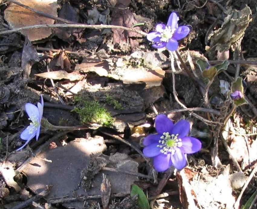 Anémone hépathique - Hepatica nobilis
