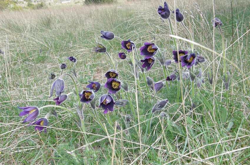 Anémone pulsatille - Pulsatilla vulgaris 2 - Renonculaceae