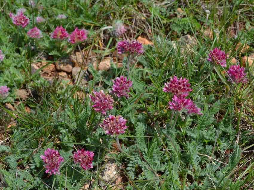 Anthyllide des montagnes - Anthyllis montana - Fabaceae