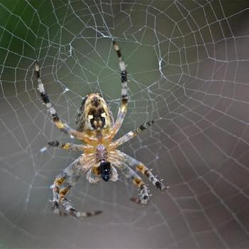 Araignée dégustant sa proie