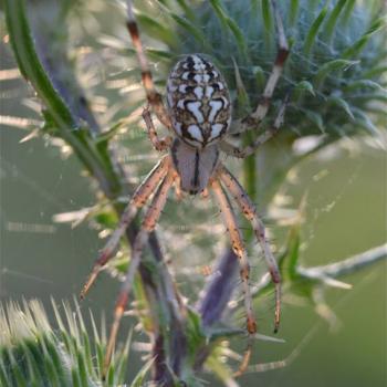 Araignée Epeire des bois