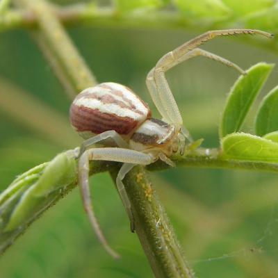 Araignée Thomise 2