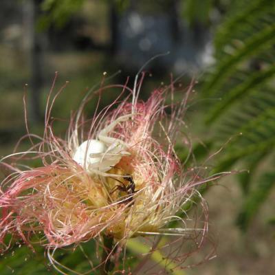 Araignée Thomise attaquant une fourmie