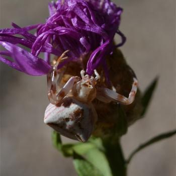 Araignée Thomise sur centaurée