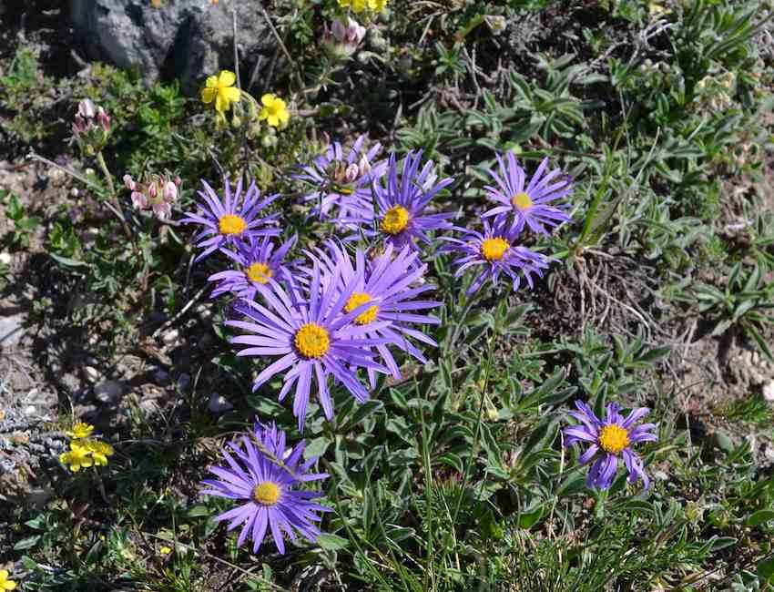 Aster des Causses - Aster subsp. cebennensis - Asteraceae