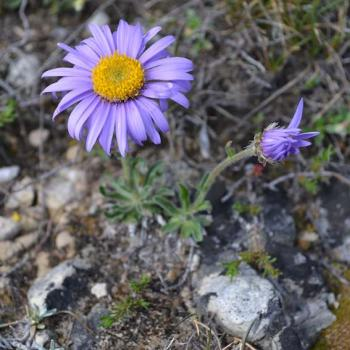 Aster des Causses - Asteraceae
