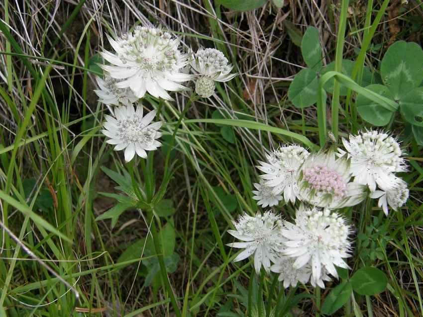 Astrance - Sanicle des montagnes - Ombélifère Apiaceae