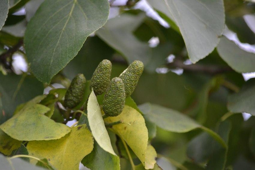 Aulne glutineux - fruits 1