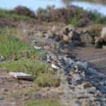 Bécasseaux sanderling et gravelot
