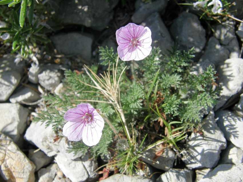 Bec-de-grue des pierriers - Erodium foetidum - Geraniaceae