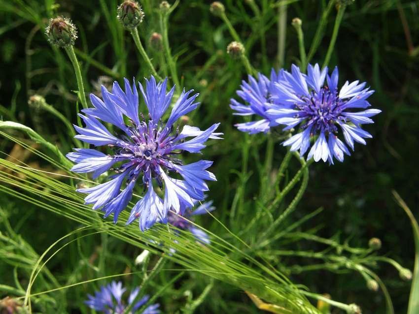 Bleuet - Centaurea cyanus
