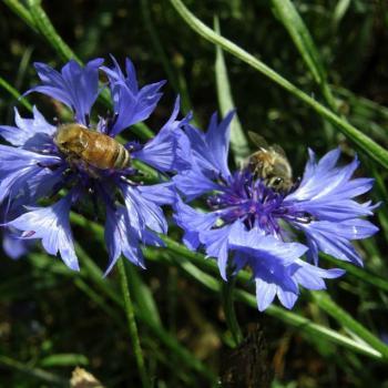 Bleuet et abeilles - Centaurea cyanus