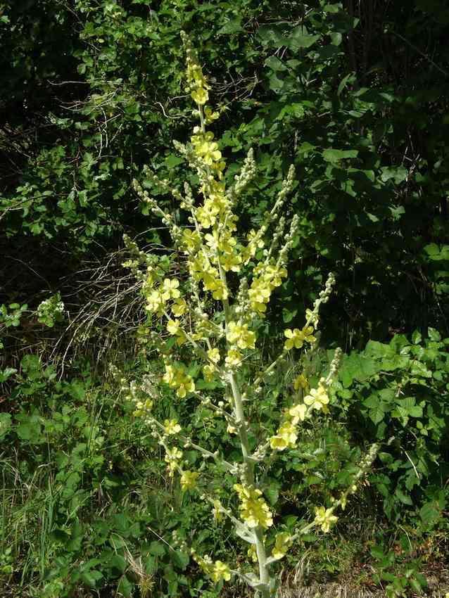 Bouillon blanc - Verbascum densiflorum