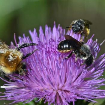 Bourdon et abeille récoltant le pollen