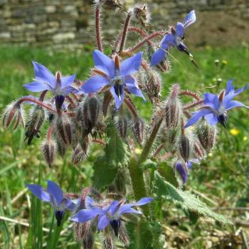 Bourrache officinale - Borago officinalis