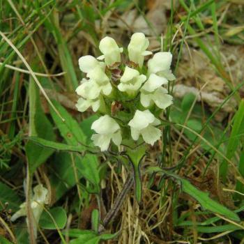Brunelle blanche - Polygonum alpinum