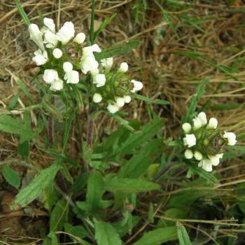 Brunelle lacinée blanche - Prunelle laciniata