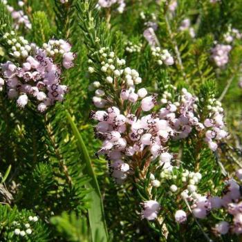Bruyère vagabonde de Cornouailles - Ericaceae