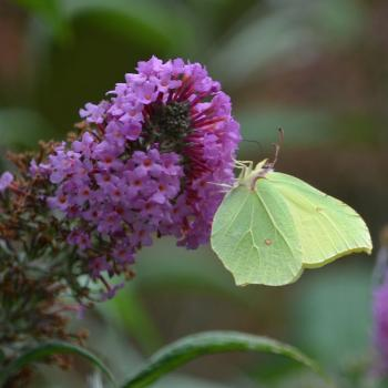 Buddleia et papillon Citron
