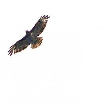 Buse variable - Buteo buteo 2
