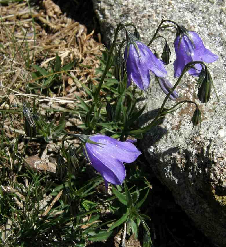 Campanule de Scheuchzer - Campanula scheuchzeri - Campanulaceae