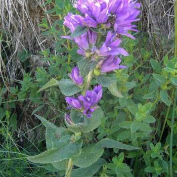 Campanule gantelée - Campanula trachelium - Campanulaceae