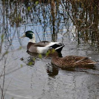 Canards colvert couple