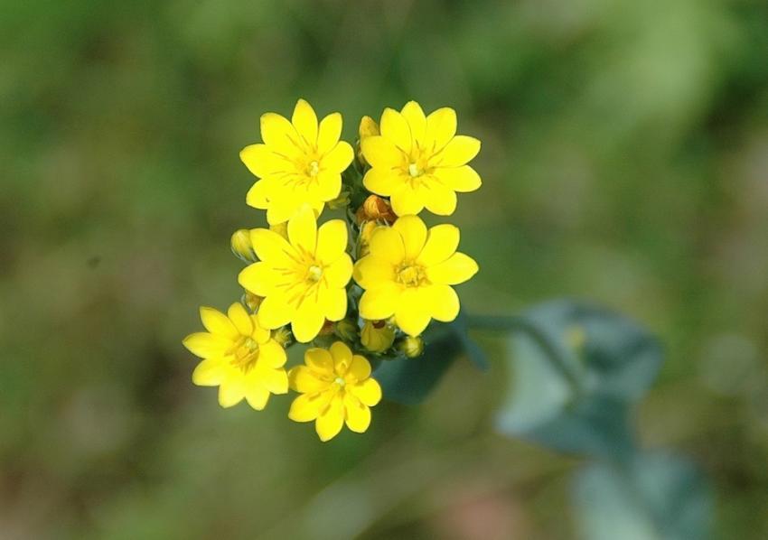 Centaurée jaune - Blackstonia perfoliata 2