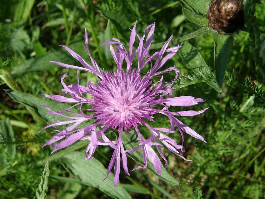 Centaurée jacée - Centaurea jacea