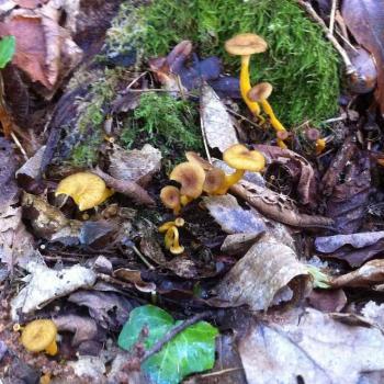 Chanterelle grise - Cantharellus tubaeformis 2