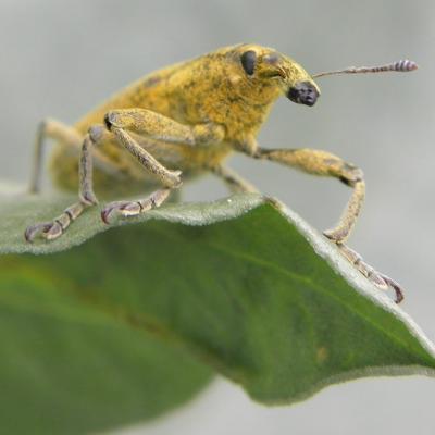 Charançon larinus sturnus (1)