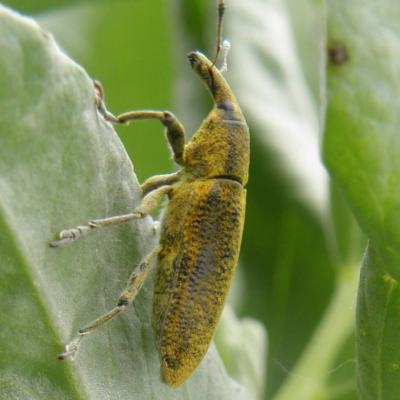 Charançon larinus sturnus (2)