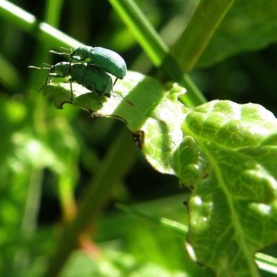Charançon Phylobius urticae