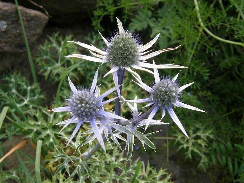 Chardon bleu des Pyrénées  - Eryngium bourgatii - Apiaceae