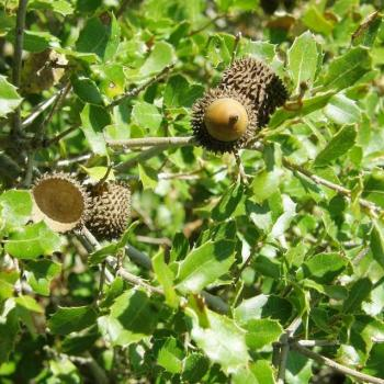 Chêne kermès - Quercus coccifera