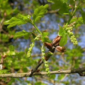 Chêne pédonculé 1