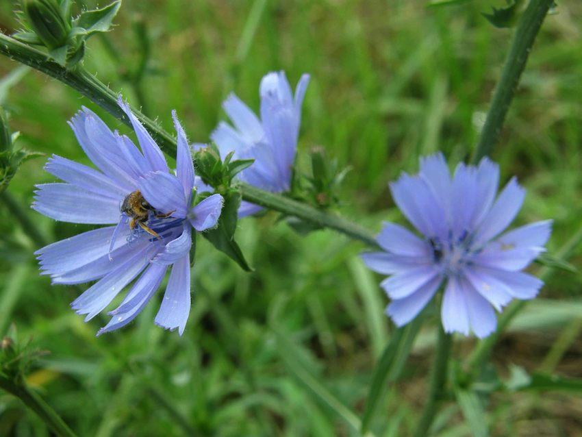 Chicorée sauvage - Cichorium intybus