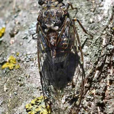 Cigale - Cicada orni