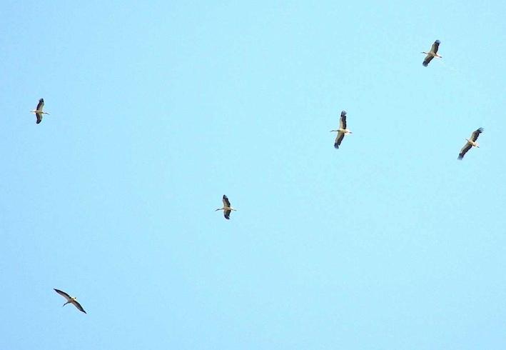 Cigognes - Coconia ciconia